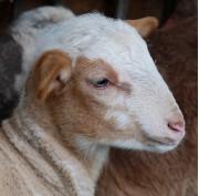 un jeune agneau