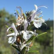 Les fleurs du romarin