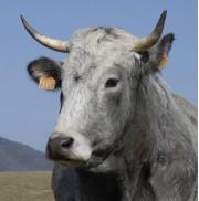 vache gasconne dsc0298 reduit